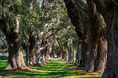 Oak Tunnel With Spanish Moss
