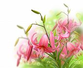 Pink Lilly On White Background It Is Isolated
