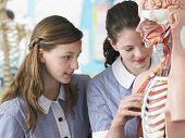 Teenage girls examining part of anatomical model in classroom