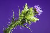 stock photo of scottish thistle  - Thistle with purple flower isolated over a studio background - JPG