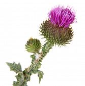 foto of scottish thistle  - Thistle flower isolated on white - JPG