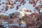picture of cherry trees  - jefferson memorial and cherry blossoms in washington dc - JPG