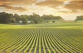 foto of row trees  - Rows of young soybean plants shot at sundown in Minnesota - JPG