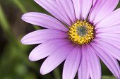 Close Up Osteospermum