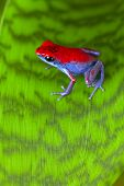 strawberry poison dart frog red and blue Oophaga pumilio from the Escudo Island Bocas del Toro in Panama tropical rainforest animal