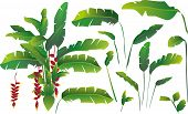 image of banana tree  - vector illustration of banana leaves - JPG