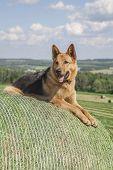 Younf German shepherd