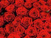 Rote Rosen auf einem Blumenmarkt. Symbol der Liebe.