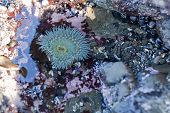Anemone In Tide Pool