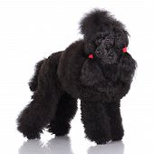 image of standard poodle  - beautiful black poodle dog on white background - JPG