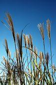 Ornamental garden grass against a blue sky