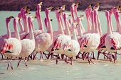 foto of eduardo avaroa  - Flamingos on lake in Andes the southern part of Bolivia - JPG
