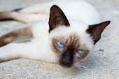 stock photo of siamese  - Siamese cat lie leisurely on a floor - JPG