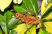 picture of florida-orange  - A Florida grasshopper four inches in length sitting on foliage exhibits a vivid orange yellow and red color - JPG