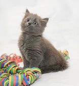 Fluffy Gray Kitten Sitting Looking Up, Coiled Serpentine