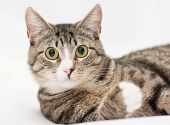 Tabby Cat With Yellow Eyes And White Nose Looking Forward