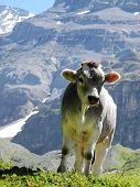 Curious Calf, Young Cow Posing In The Swiss Mountains