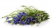 Armful of the blue cornflowers