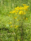 stock photo of farting  - Closeup of a yellow blooming Ragwort or Jacobaea vulgaris plant in its natural habitat on a sunny day in summertime - JPG