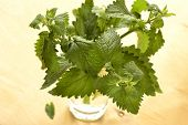 Fresh lemon balm herb (Melissa officinalis)