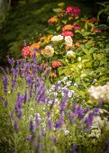 pic of catnip  - Beautiful garden with blooming roses and lavendel in foreground - JPG