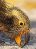 Parrot Picking With Beak
