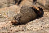 Southern Fur Seal Asleep On Warm Rock