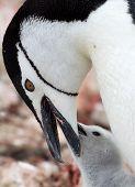 Mommy Chinstrap Penguin feeding Baby Chick