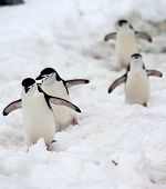 Chinstrap penguins playing follow the leader