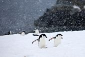 picture of arctic landscape  - Couple of Chinstrap Penguins walking up a small hill in Antarctica - JPG