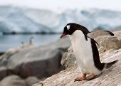 Gentoo Penguin standing on rock formation in Antarctica