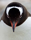 Serious looking Gentoo Penguin
