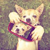 a cute chihuahua in the grass taking a selfie on a cell phone done with a vintage retro instagram f