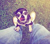 a cute chihuahua begging to be picked up done with a retro vintage instagram filter