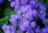 Blue Purple Hairy Flower