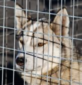 Husky dog in a cage