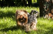 Yorkshire Terrier in garden