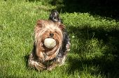 Yorkshire terrier playing with ball