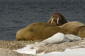 Walrus showing tusks on snowy Arctic beach
