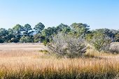 picture of marsh grass  - Bare and pine trees in brown wetland marsh grasses - JPG