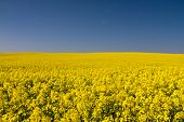 Endless Yellow Canola Field Under A Blue Sky
