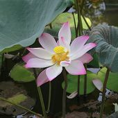 image of boll  - lotus flower with boll and pale pink petals closeup - JPG