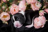 Newborn basenji puppy, 3 days, on black
