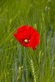 Poppy on the wheat field