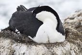 Antarctic Blue-eyed Cormorant Sleeping During Incubation Laying In The Nest