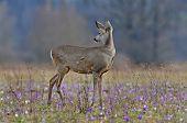 Roe deer amidst saffron