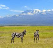 picture of kilimanjaro  - Zebra on the background of Mount Kilimanjaro in the national reserve - JPG