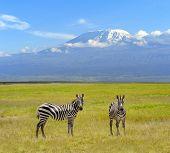 pic of kilimanjaro  - Zebra on the background of Mount Kilimanjaro in the national reserve - JPG