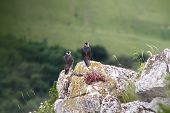 Two Falco Peregrinus Standing On A Rock