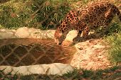 stock photo of panther  - Panther drinking water at the zoo behind fence - JPG